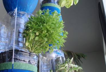 Mini-basil flourishing in a hanging water bottle